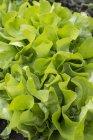 Салат растет в саду — стоковое фото