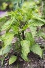 Una pianta di pepe cresce in un orto all'aperto durante il giorno — Foto stock