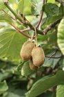 Kiwi che cresce sull'albero — Foto stock