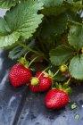 Frische Erdbeeren auf Anlage — Stockfoto