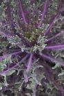 Repolho roxo, crescendo em campo — Fotografia de Stock