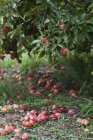 Apples on tree and grass — Stock Photo