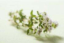 Rametto di timo di fioritura — Foto stock
