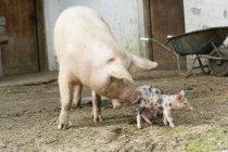 Дневное время мнению взрослых и молодых свиней перед кабиной — стоковое фото