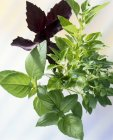 Basilic grec bush — Photo de stock