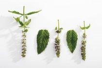 Fiori e foglie di menta piperita — Foto stock