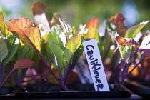 Vista del primo piano delle piante di cavolfiore in contenitori di plastica — Foto stock