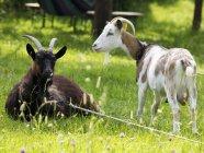 Дневной вид двух коз в саду на канаты — стоковое фото