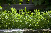 Pfefferminze wächst im Garten — Stockfoto