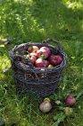 Frisch gepflückte Boskop Äpfel — Stockfoto