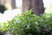 Menta che cresce nel giardino — Foto stock