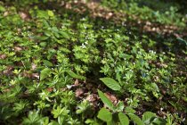 Daytime tilted view of Woodruff plants on ground — Stock Photo
