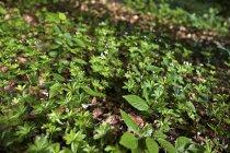 Pendant la journée vue incliné de plantes Woodruff sur terrain — Photo de stock