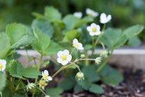Closeup vista de morangos plantas com flores — Fotografia de Stock