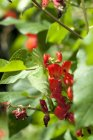 Runner bean flowers on the plant outdoors during daytime — Stock Photo