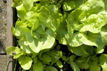 Kopfsalat Kopfsalat Pflanzen — Stockfoto