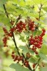 Redcurrants growing on bush — Stock Photo