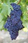 Uvas que crecen en plantas - foto de stock