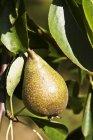 Pera creciendo en el árbol - foto de stock