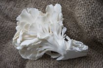 Austernpilze auf jute — Stockfoto