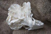 Champiñón de ostra sobre yute - foto de stock