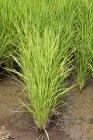 Campo agricolo di riso — Foto stock