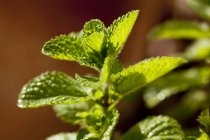 Mint plant growing — Stock Photo