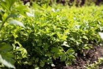 Petersilie wächst im Garten — Stockfoto