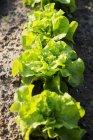 Bio Bibb Salat — Stockfoto