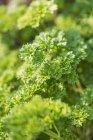 Parsley growing in garden — Stock Photo