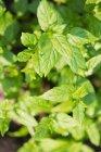 Piante di menta che crescono nel giardino — Foto stock