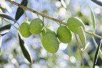 Оливки, ростуть на дереві — стокове фото