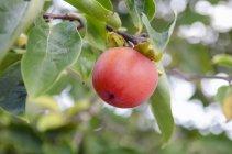 Vista de cerca de la fruta madura de Sharon en el árbol - foto de stock