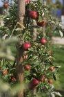 Crescendo na árvore de maçãs — Fotografia de Stock
