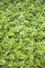 Salsa, crescendo no jardim — Fotografia de Stock