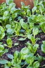 Plants of Baby Bok Choy Growing on ground outdoors — Stock Photo