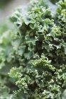 Свежие листья капусты — стоковое фото