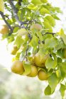 Creciendo en el árbol de peras - foto de stock