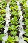 Piante di menta coltivazione in vaso — Foto stock