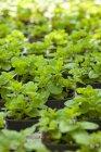 Minze Pflanzen in Töpfen — Stockfoto