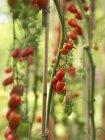 Crescendo na planta de tomate cereja — Fotografia de Stock