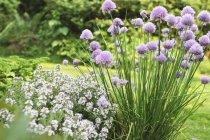 Цветущий лук и тимьян в саду — стоковое фото