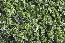 Frisch gepflückte Grünkohl — Stockfoto