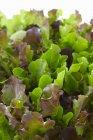 Fresh mixed salad leaves — Stock Photo