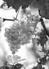 Виноград растет на завод — стоковое фото