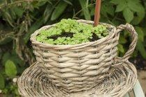 Radish seedlings growing outside in a basket shaped like a teacup — Stock Photo
