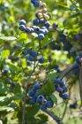 Arándanos en bush - foto de stock