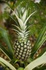 Whole pineapple on plant — Stock Photo