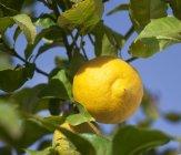 Zitrone auf Baum wächst — Stockfoto