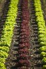 Salat im Feld wachsen — Stockfoto